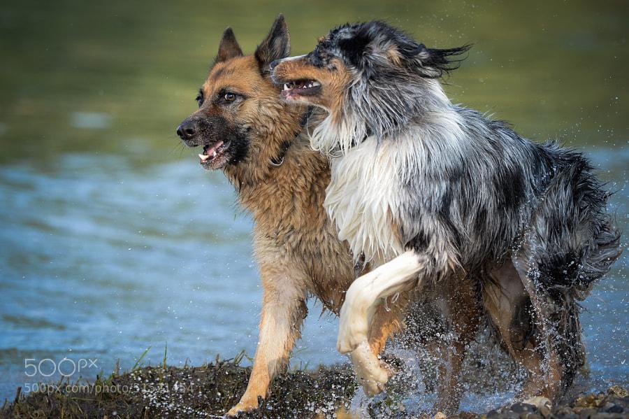 Dog | Hund (Australian Shepherd)