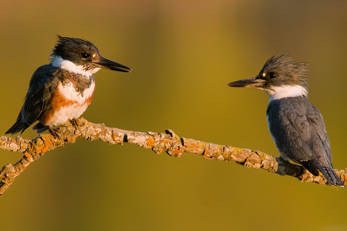 Photograph Belted Kingfisher pair by Mike  Lentz on 500px