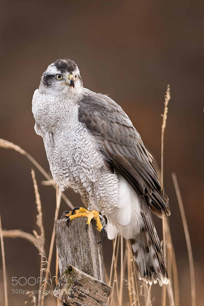 Photograph Northern Goshawk on field post by Mike  Lentz on 500px