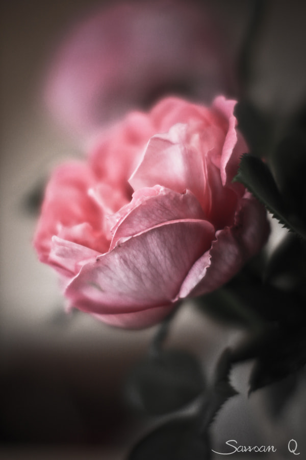 Photograph Dreamy Pink Rose  by Sawsan Mohammed on 500px