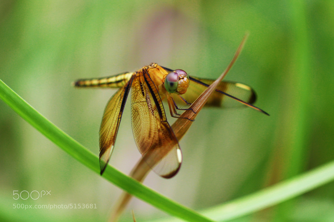 Photograph Dragonfly_4 by Don Kabo on 500px