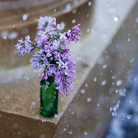 lilac by Elena Alhimovich (Alhimovich) on 500px.com