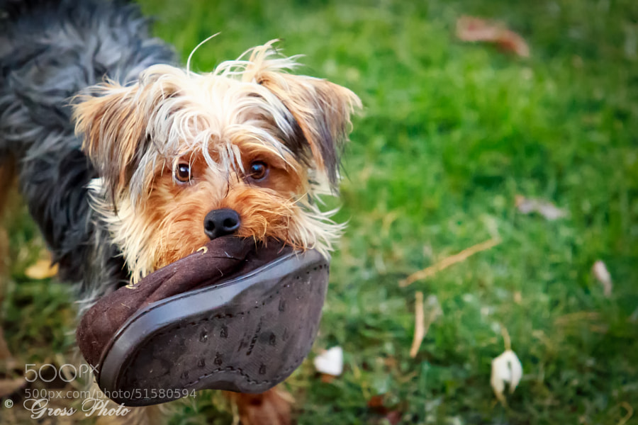 Yorkie carrying my shoe... He's a pip..