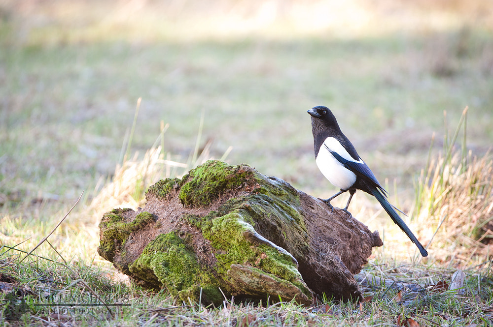 Photograph Magpie by Will Nicholls on 500px