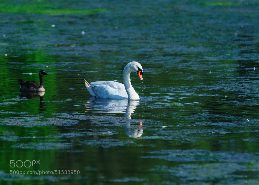 The Swan and it's swimming buddy