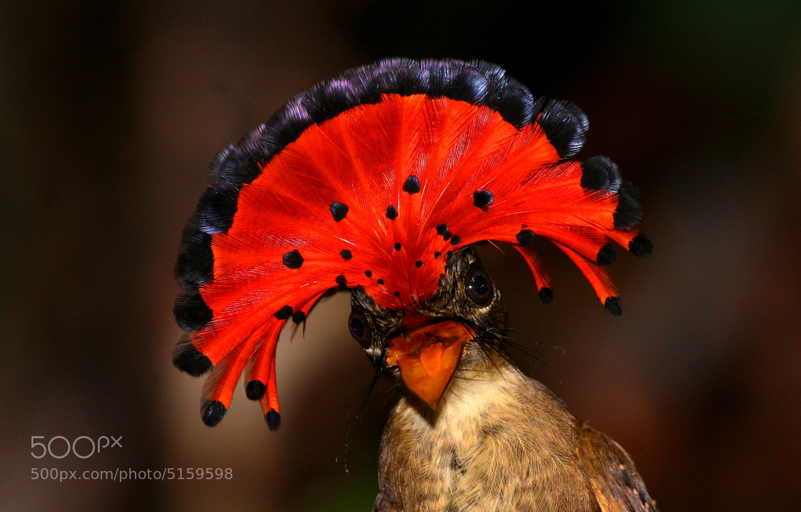 Photograph Amazonian Royal Flycatcher by Andy Whittaker and Jaque Fortuna on 500px
