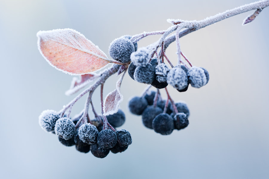 Сhokeberry on a frost by Maxim Striganov on 500px.com