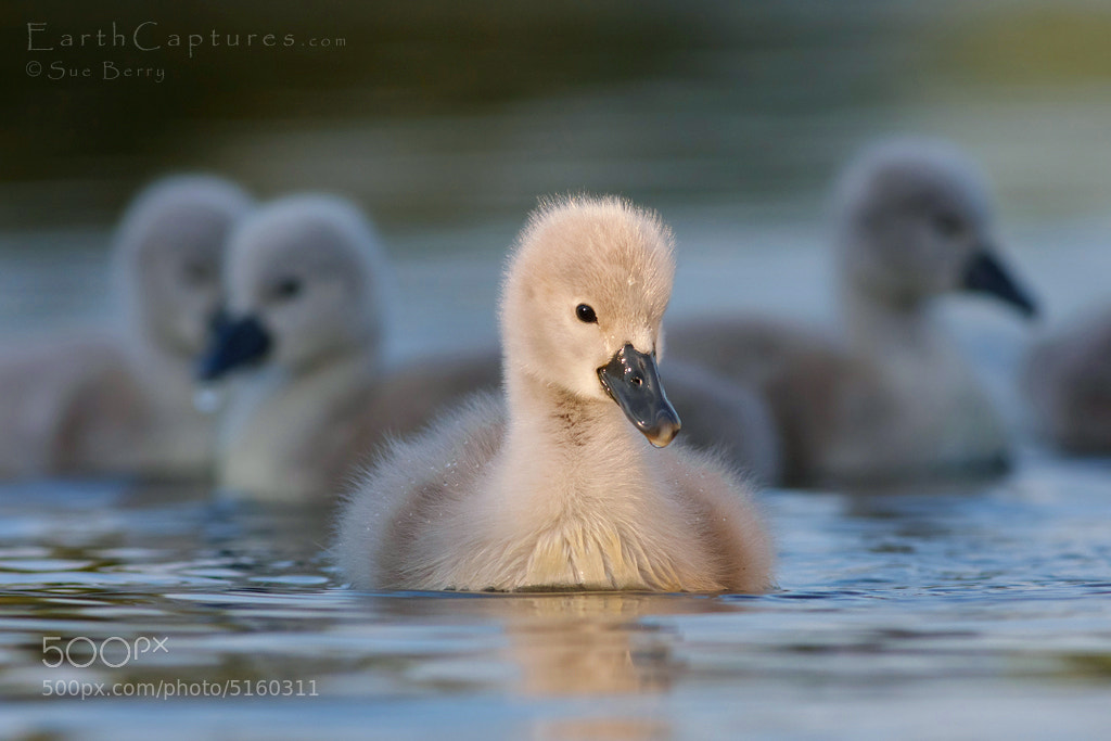 Photograph Cygnets at sundown by Sue Berry on 500px