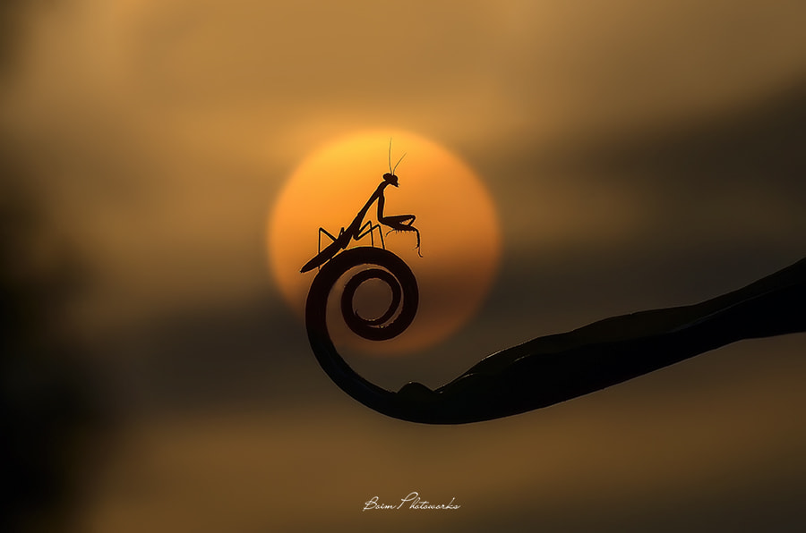 Photograph Kungfu Mantis by Boim Wahyudi on 500px