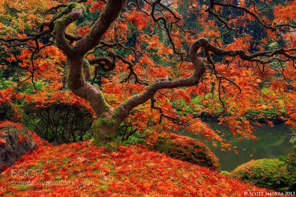 Photograph Maple Twist by Scott  Smorra on 500px
