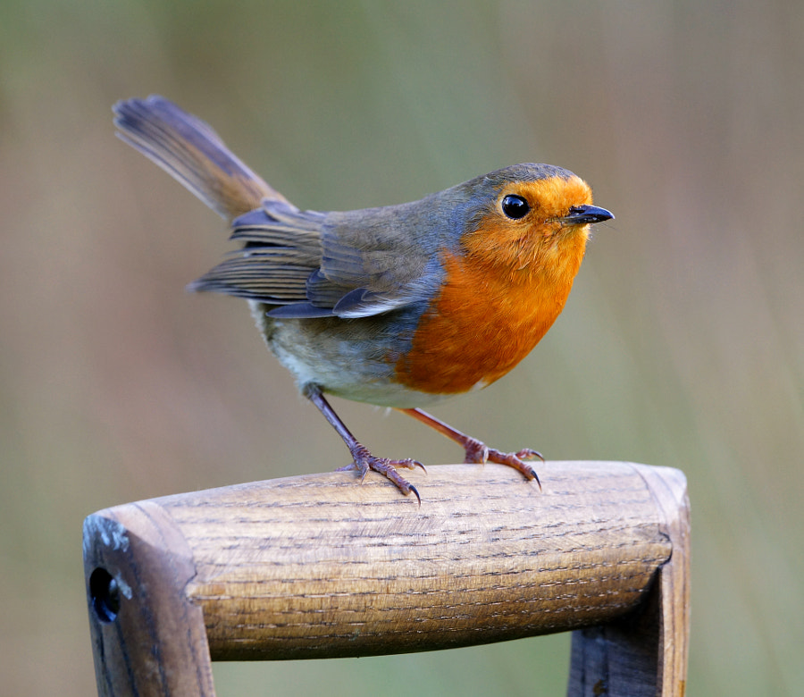 Robin on the garden fork. by Mike Turtle on 500px.com