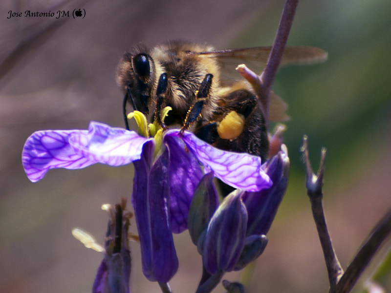 Photograph Worker bee by Jose A. Jerez on 500px