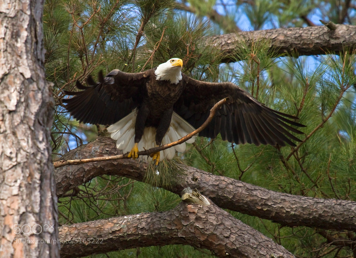 Photograph Eagle With Branch by Lorraine Hudgins on 500px