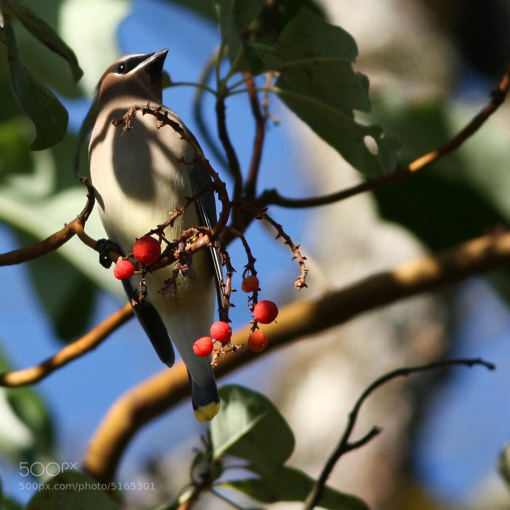 Photograph Cedar Wax Wing by Vinnie Halpin on 500px
