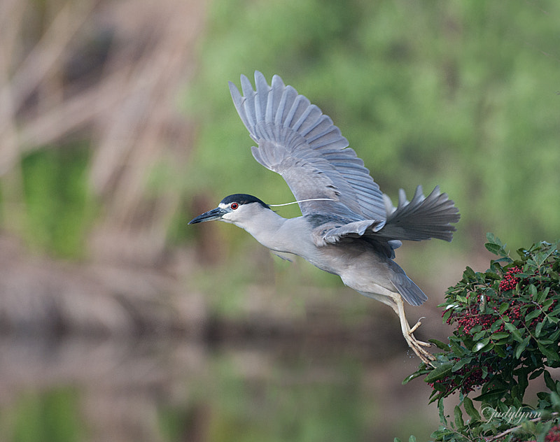There were several black crown night herons at the rookery and it was a wonderful opportunity to capture them flying back and forth.  They are more elusive in our area and not often do we have the chance to see them out in the open.