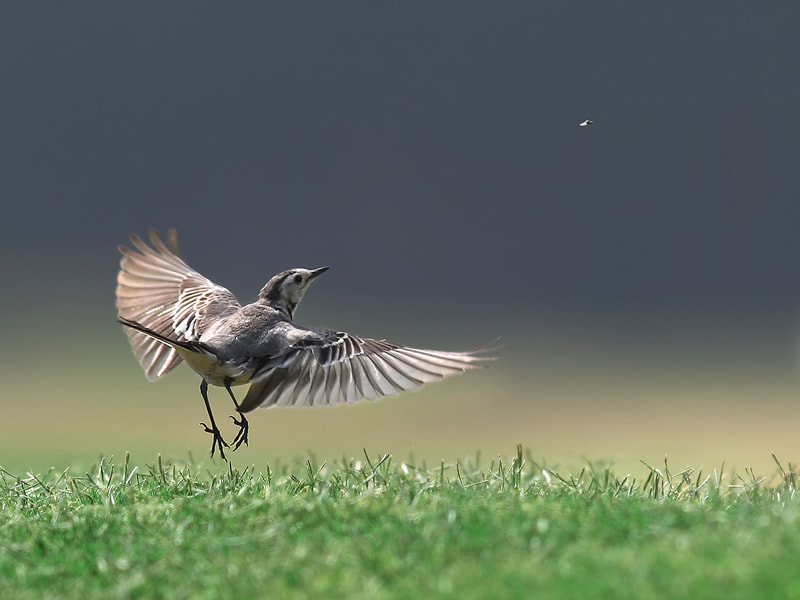 Photograph wagtail by Rami  on 500px