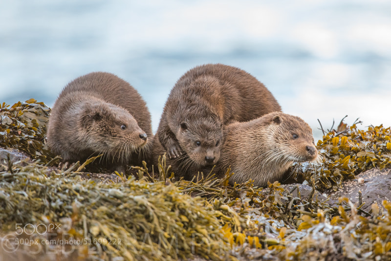 Photograph Isle of Mull Otter family (Lutra Lutra) by Seb Loram on 500px