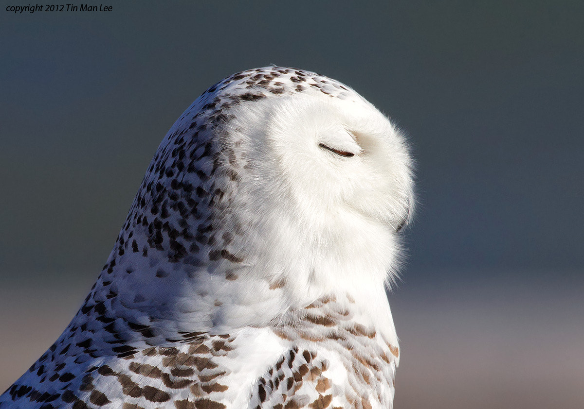 Photograph Snowy Owl Sideway Portrait by Tin Man on 500px