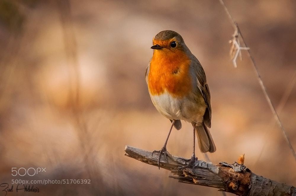 Photograph European Robin by Ziad AbdulAziz on 500px