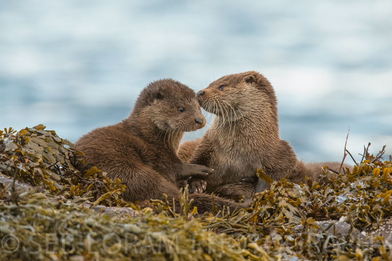 Photograph Mull Otter with cubs by Seb Loram on 500px