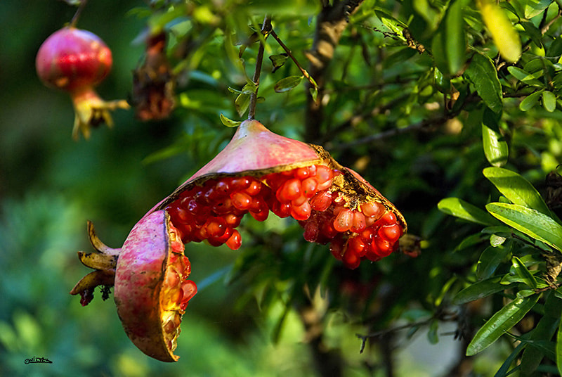 Photograph   Pomegranate  by Israel Weiss on 500px