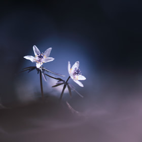 Spring Ephemeral by Noriko Tabuchi (white-roots)) on 500px.com