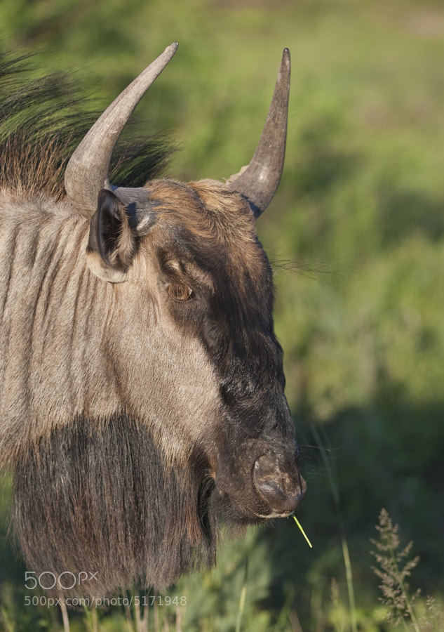 Very often you do not get a good eye when photographing these animals, I took this to try to explain by showing the very long eyelashes. Taken in Khama Rhino Sanctuary, Botswana