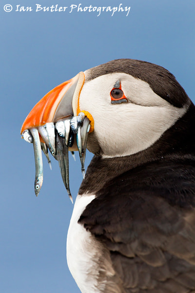 Photograph Puffin by Ian  Butler on 500px