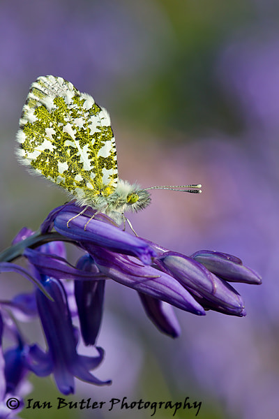Photograph Orange Tip butterfly on Bluebell by Ian  Butler on 500px