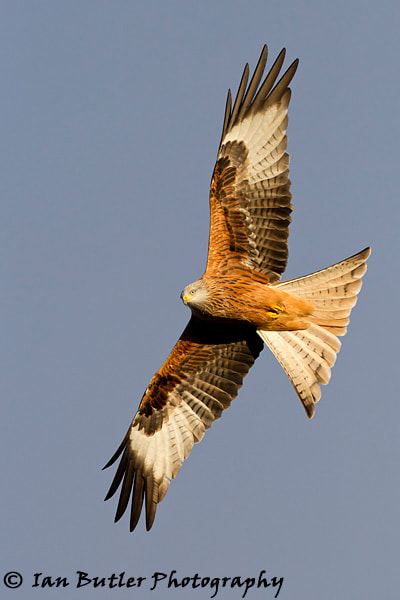 Photograph Red Kite by Ian  Butler on 500px