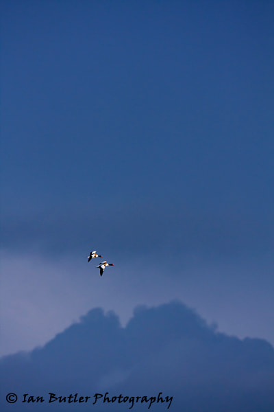 Photograph Shelduck flying against storm by Ian  Butler on 500px