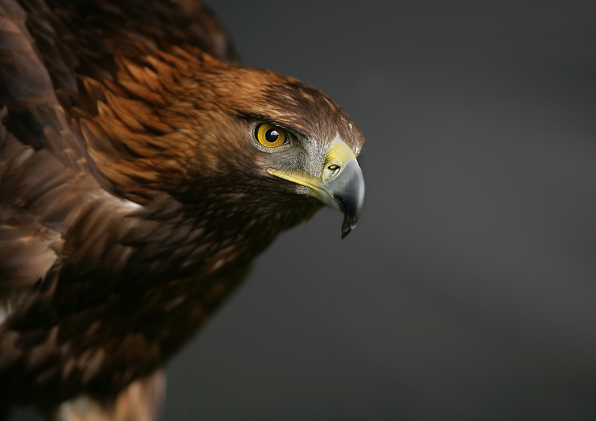 Photograph Golden Eagle by phil homer  LSINWP on 500px