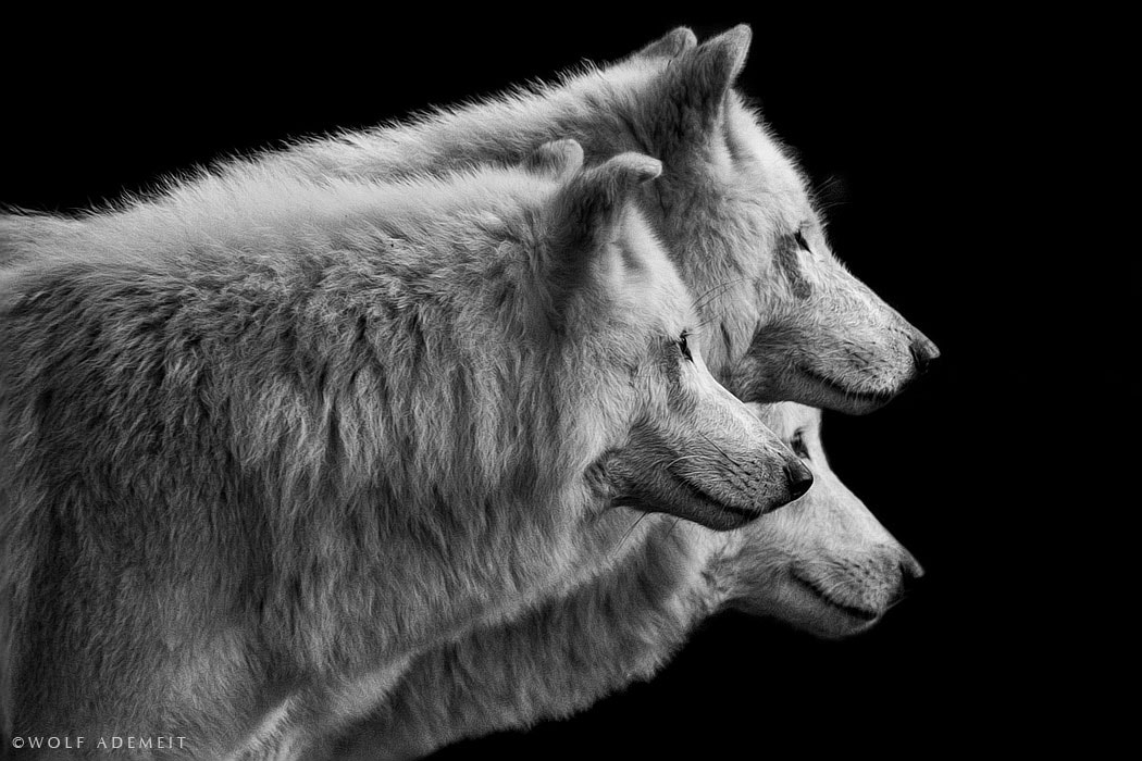 Photograph three wolves by Wolf Ademeit on 500px