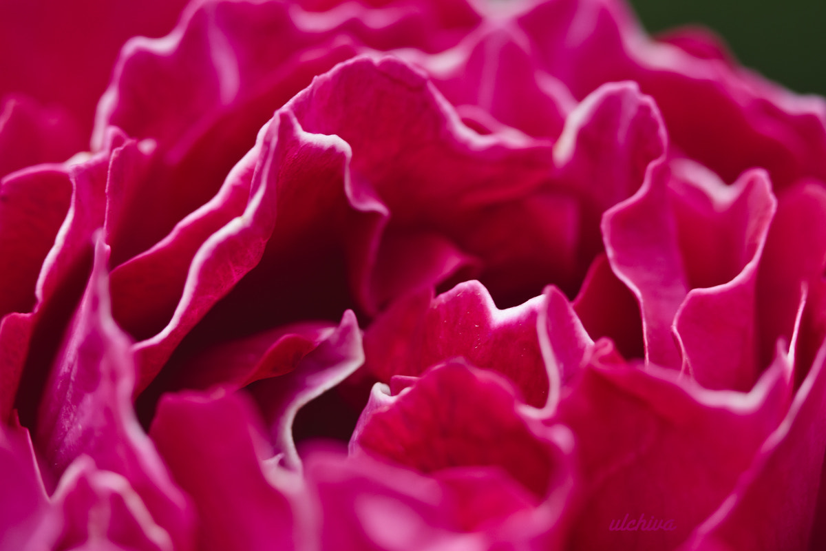Photograph ROSE by Julia Iva on 500px