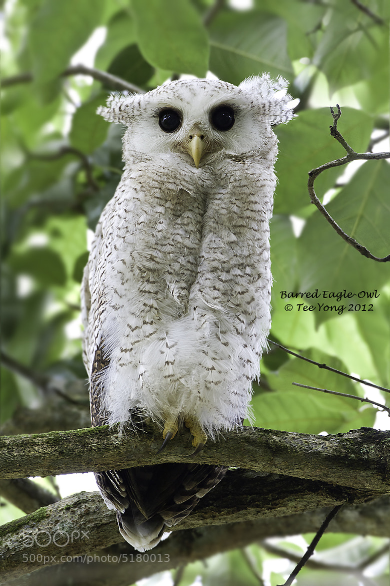 Photograph Barred Eagle-Owl (Juvenile) by TeeYong on 500px