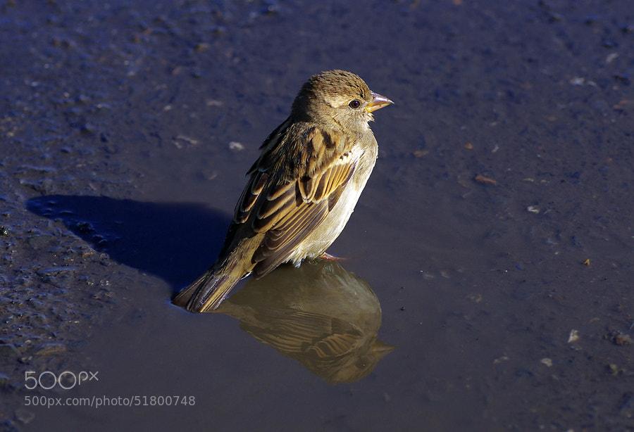 "Tiny Sparrow by Mehmet Çoban on 500px.com"" border=""0"" style=""margin: 0 0 5px 0;"