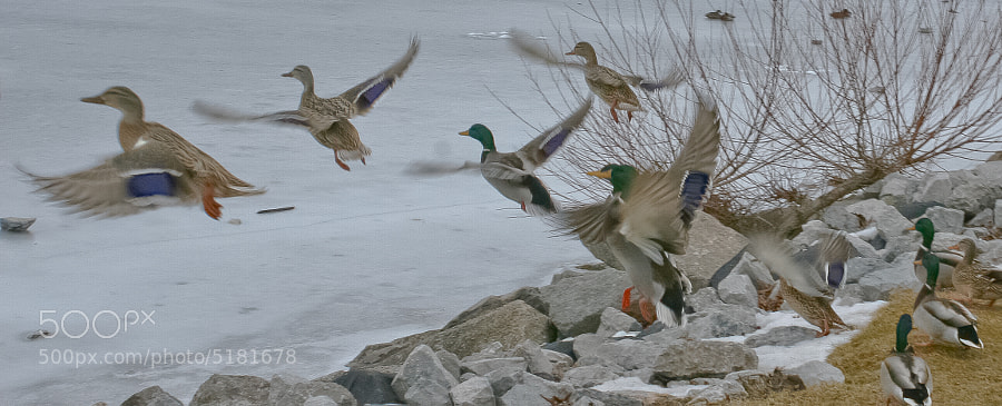 Mallards in Downtown Barrie, ON