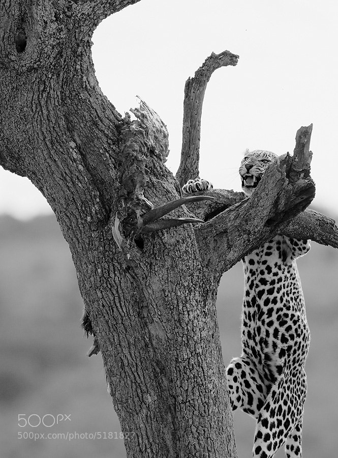 Photograph Leopard (Series 2 of 3) by Dean Tatooles on 500px