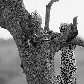 Leopard (Series 2 of 3) by Dean Tatooles (SouthernCrossGalleries)) on 500px.com