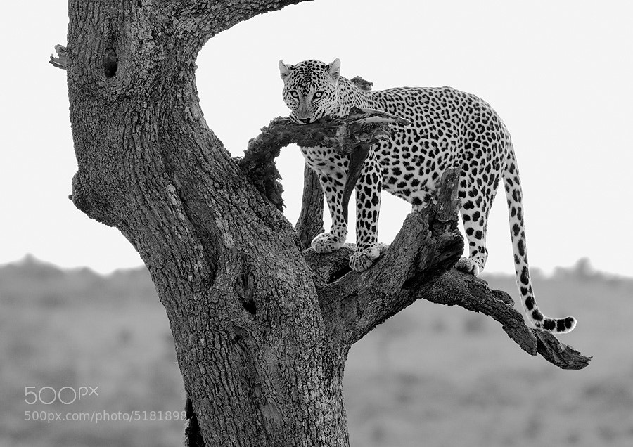 Photograph Leopard (Series 3 of 3) by Dean Tatooles on 500px