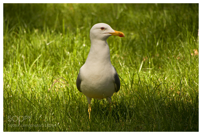 Photograph Seagull I by Petra Klanjšek on 500px