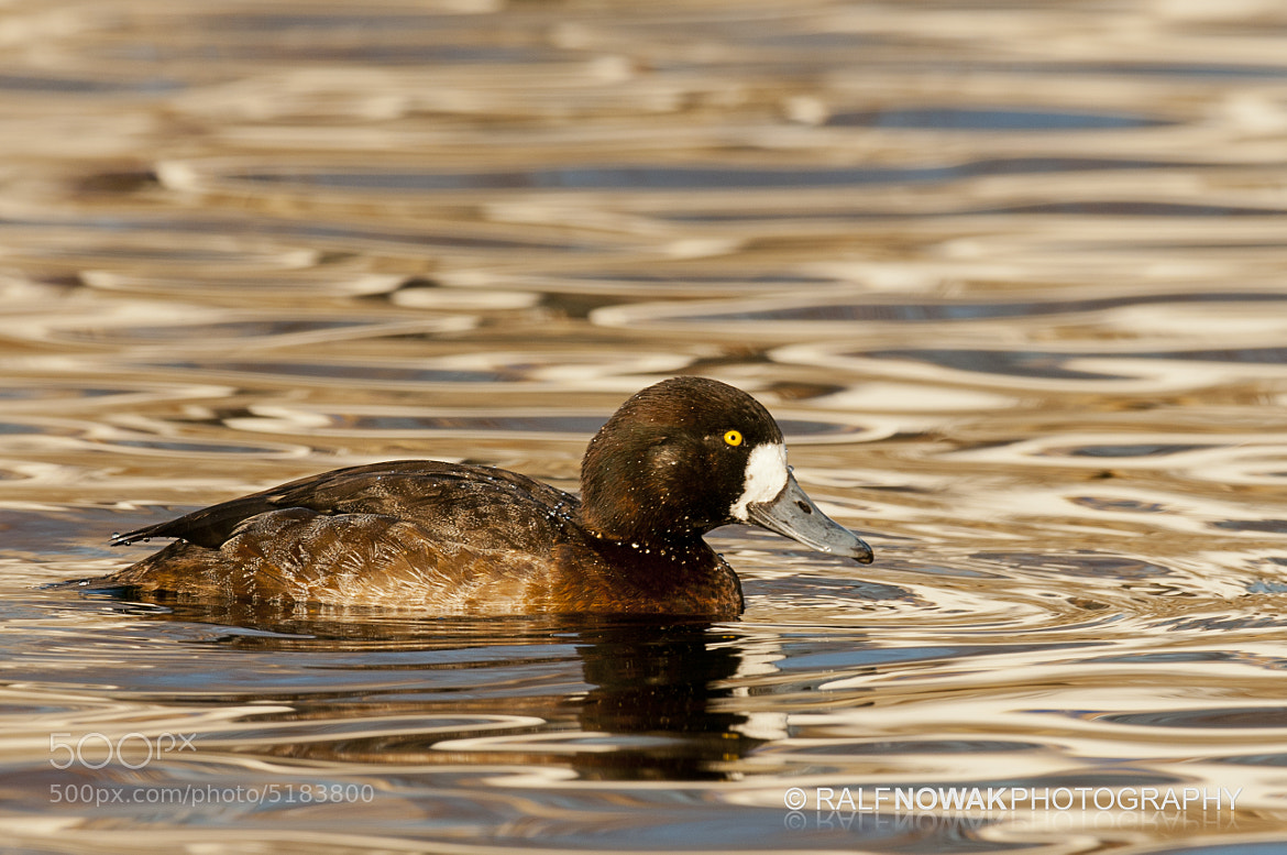 Photograph Greater Scaup hen by Rafal Nowak on 500px