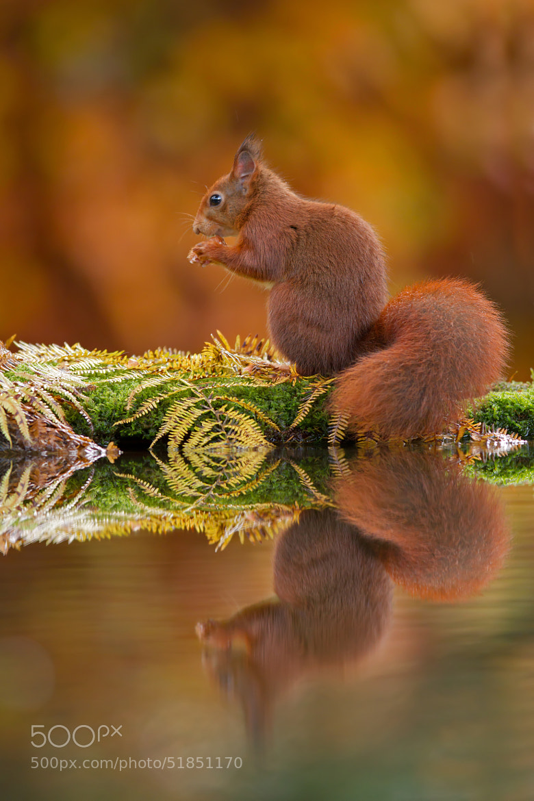 Photograph Red Squirrel at Pond by Andy Luberti on 500px