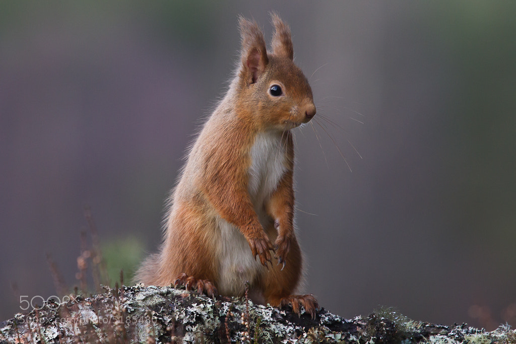 Photograph Red Squirrel by Kerry Howcroft on 500px