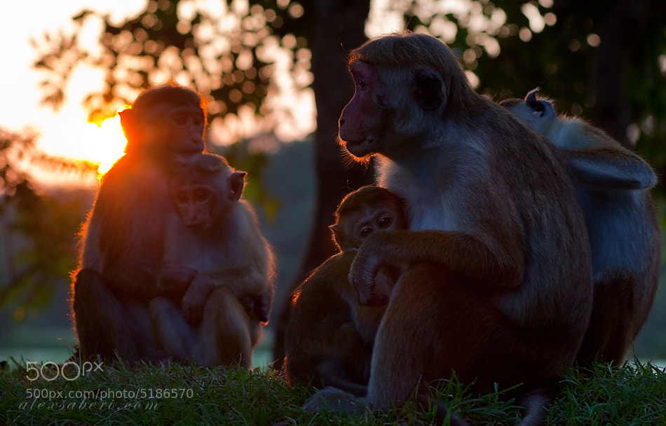 Photograph Sunset macaques of sri lanka by alex saberi on 500px