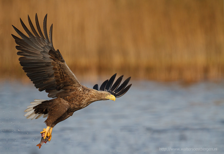 Photograph White-tailed eagle by Walter Soestbergen on 500px