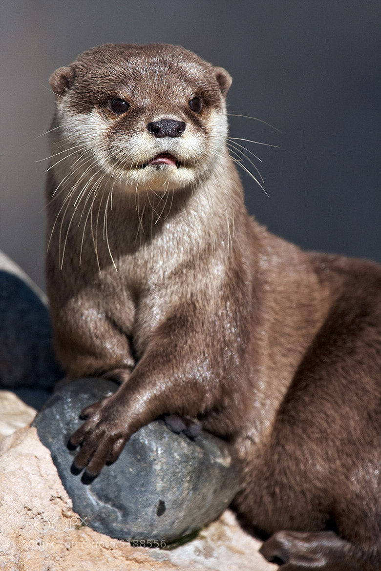 Photograph The otter king by Florence Perroux on 500px