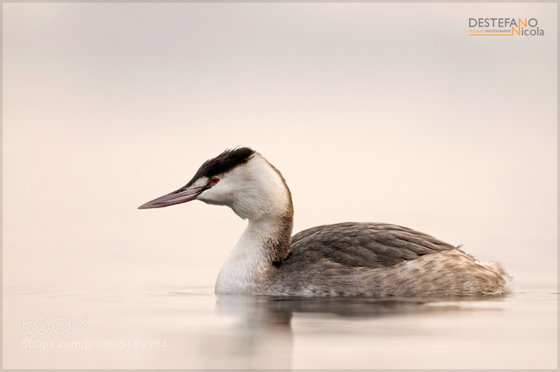 Photograph Great Crested Grebe by Nicola Destefano on 500px