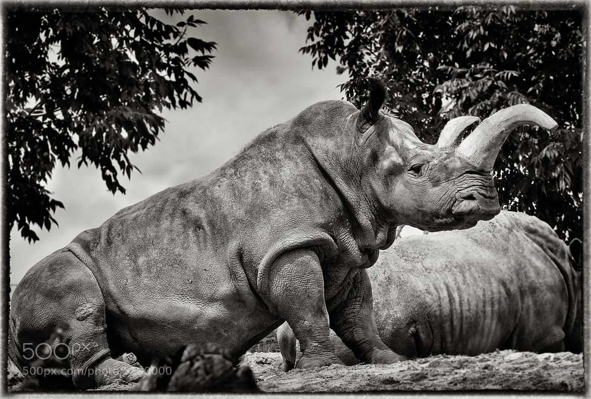 Photograph Rhinoceros by Don Rabideau on 500px