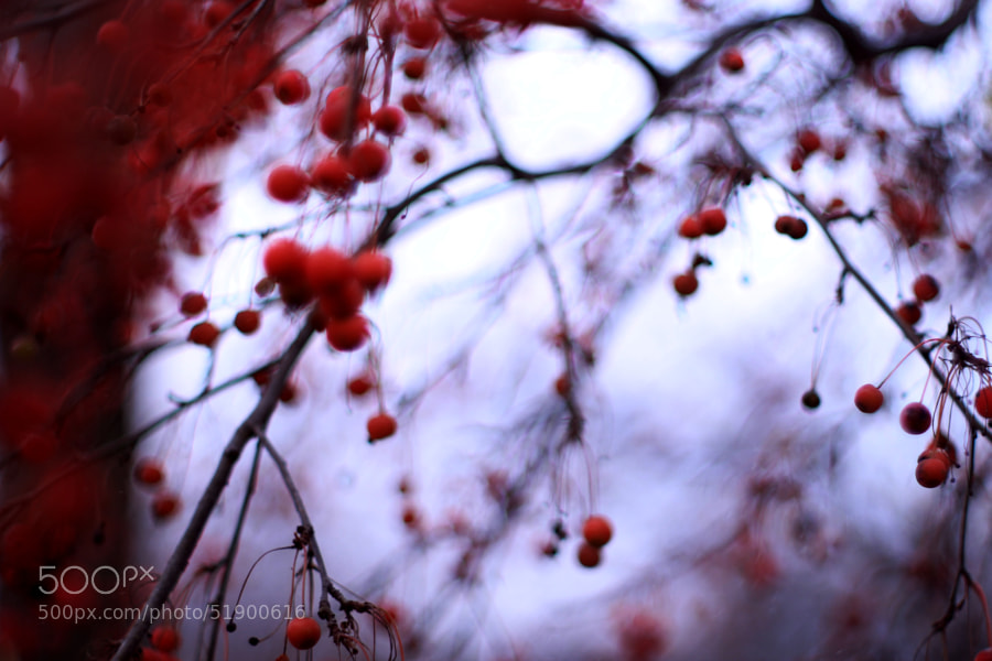 Crab Apple Tree in November (1) by Jeff Carter on 500px.com